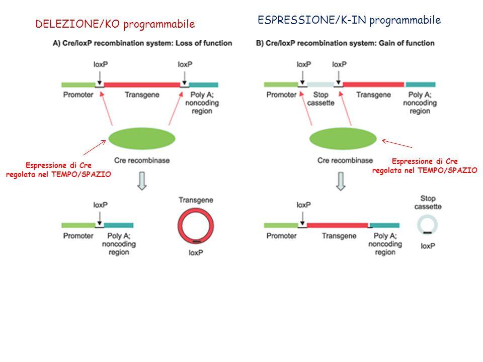 DELEZIONE/KO programmabile ESPRESSIONE/K-IN programmabile Espressione di Cre regolata nel TEMPO/SPAZIO Espressione di Cre regolata nel TEMPO/SPAZIO