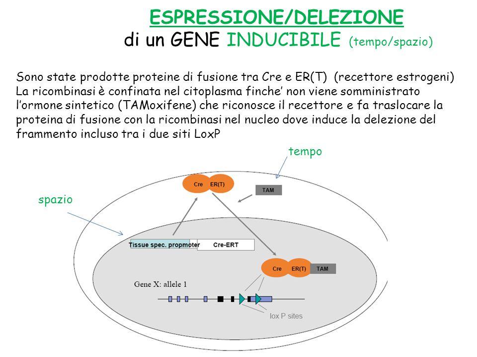 ESPRESSIONE/DELEZIONE di un GENE INDUCIBILE (tempo/spazio) Sono state prodotte proteine di fusione tra Cre e ER(T) (recettore estrogeni) La ricombinasi è confinata nel citoplasma finche' non viene somministrato l'ormone sintetico (TAMoxifene) che riconosce il recettore e fa traslocare la proteina di fusione con la ricombinasi nel nucleo dove induce la delezione del frammento incluso tra i due siti LoxP spazio tempo