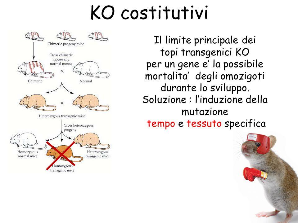 KO costitutivi Il limite principale dei topi transgenici KO per un gene e' la possibile mortalita' degli omozigoti durante lo sviluppo. Soluzione : l'