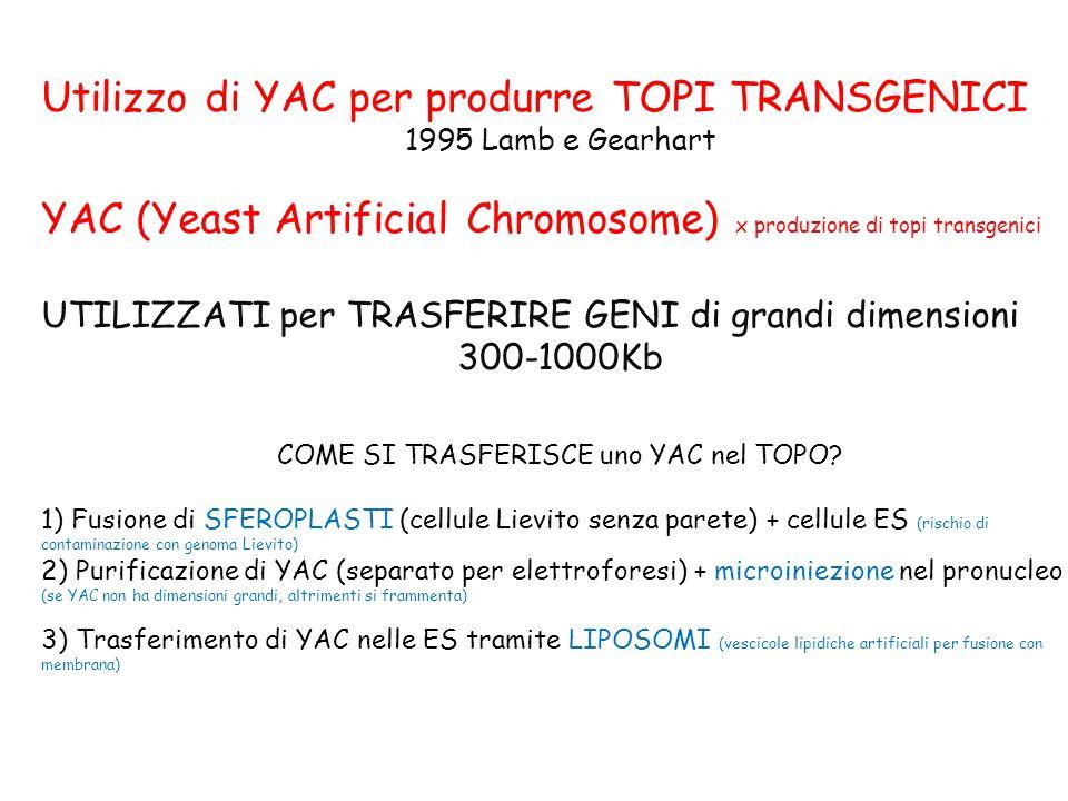 Utilizzo di YAC per produrre TOPI TRANSGENICI 1995 Lamb e Gearhart YAC (Yeast Artificial Chromosome) x produzione di topi transgenici UTILIZZATI per TRASFERIRE GENI di grandi dimensioni 300-1000Kb COME SI TRASFERISCE uno YAC nel TOPO.