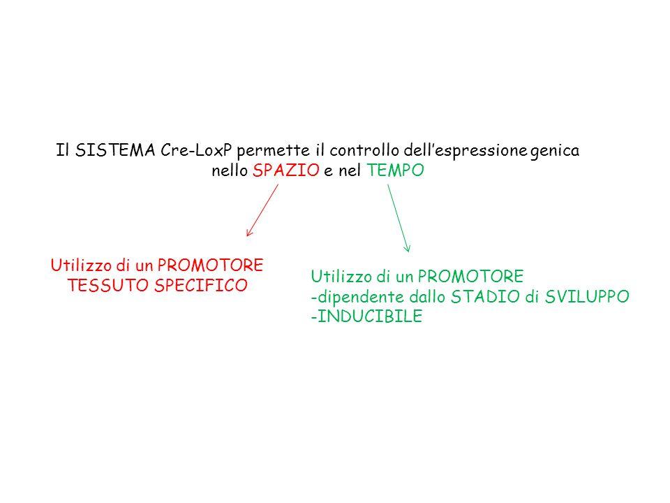 Il SISTEMA Cre-LoxP permette il controllo dell'espressione genica nello SPAZIO e nel TEMPO Utilizzo di un PROMOTORE TESSUTO SPECIFICO Utilizzo di un PROMOTORE -dipendente dallo STADIO di SVILUPPO -INDUCIBILE