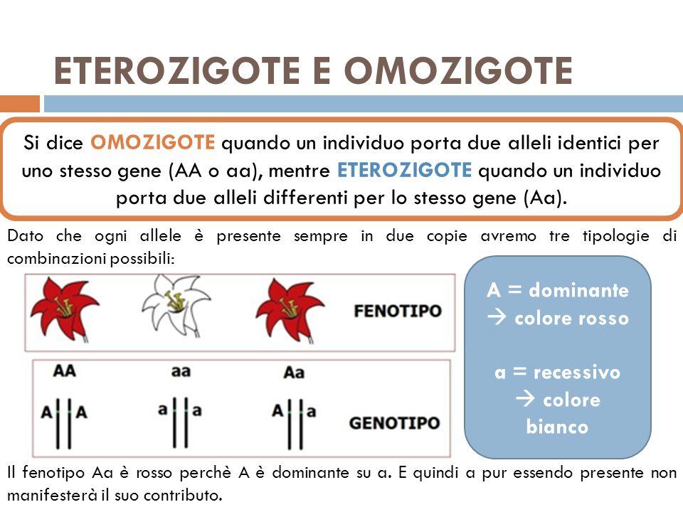 ETEROZIGOTE E OMOZIGOTE Si dice OMOZIGOTE quando un individuo porta due alleli identici per uno stesso gene (AA o aa), mentre ETEROZIGOTE quando un individuo porta due alleli differenti per lo stesso gene (Aa).