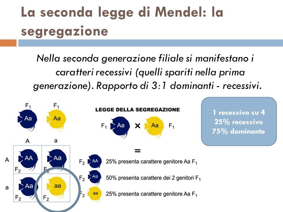 La seconda legge di Mendel: la segregazione Nella seconda generazione filiale si manifestano i caratteri recessivi (quelli spariti nella prima generazione).