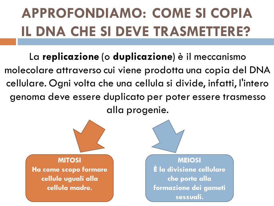 APPROFONDIAMO: COME SI COPIA IL DNA CHE SI DEVE TRASMETTERE.