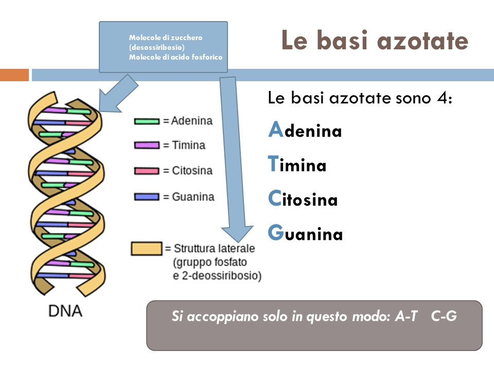 Le basi azotate Le basi azotate sono 4: A denina T imina C itosina G uanina Si accoppiano solo in questo modo: A-T C-G Molecole di zucchero (desossiribosio) Molecole di acido fosforico