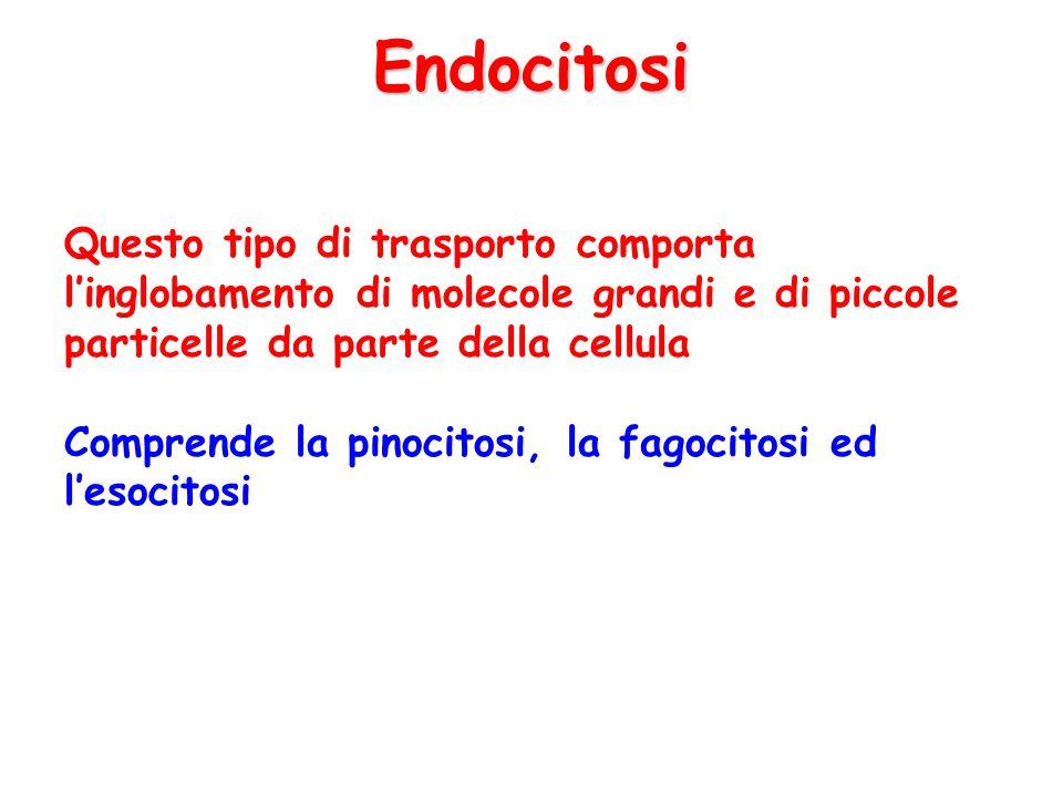 Endocitosi Questo tipo di trasporto comporta l'inglobamento di molecole grandi e di piccole particelle da parte della cellula Comprende la pinocitosi,