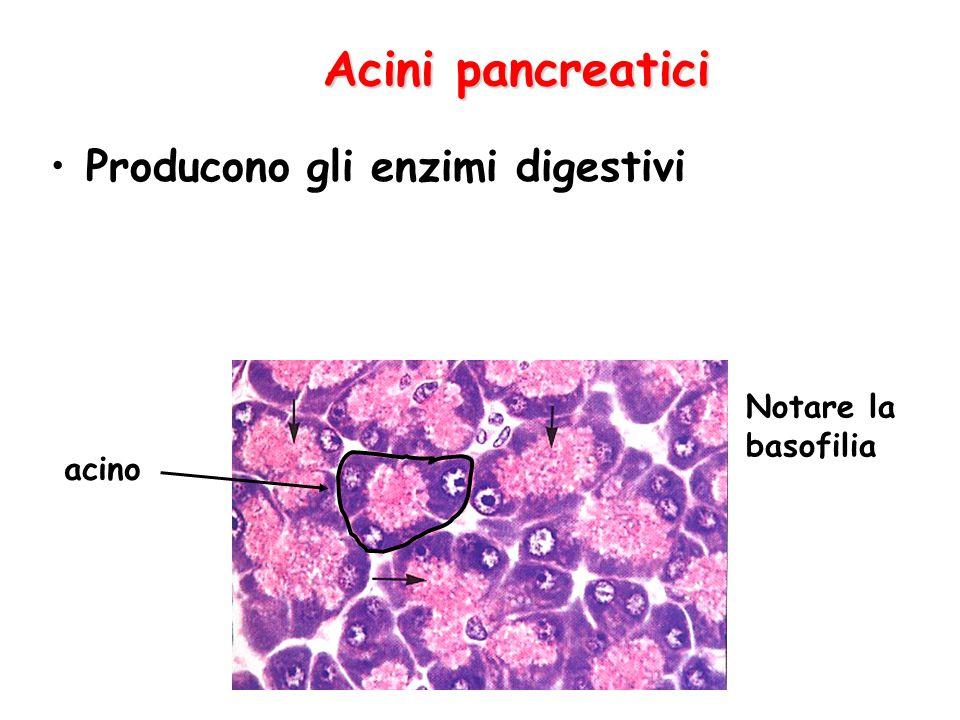 Acini pancreatici Producono gli enzimi digestivi acino Notare la basofilia