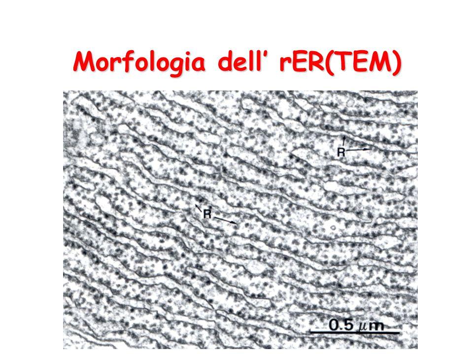 Morfologia dell' rER(TEM)