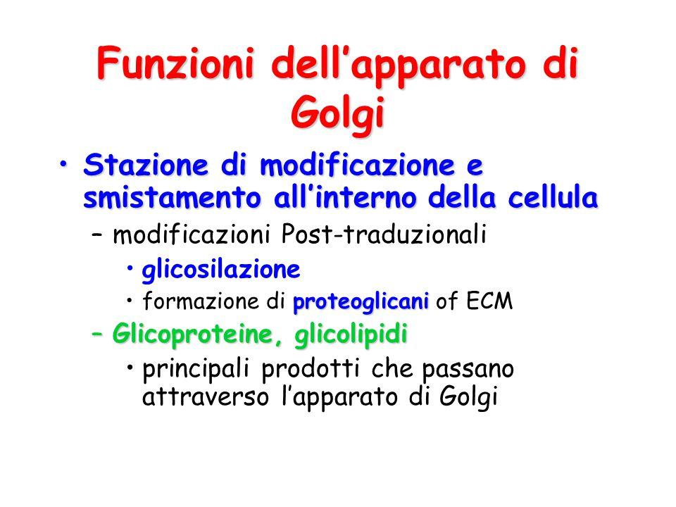 Funzioni dell'apparato di Golgi Stazione di modificazione e smistamento all'interno della cellulaStazione di modificazione e smistamento all'interno d