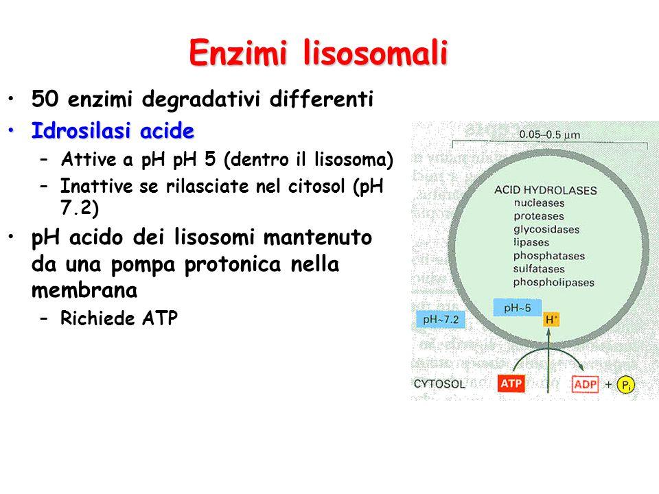 Enzimi lisosomali 50 enzimi degradativi differenti Idrosilasi acideIdrosilasi acide –Attive a pH pH 5 (dentro il lisosoma) –Inattive se rilasciate nel