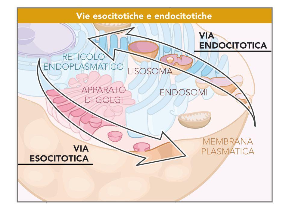 Prodotti da digerire veicolati ai lisosomi attraverso 4 vie Endocitosi:Endocitosi: PinocitosiPinocitosi FagocitosiFagocitosi AutofagiaAutofagia Autodigestione di componenti cellulari inutili o da rinnovareAutodigestione di componenti cellulari inutili o da rinnovare Agli eccessi Morte cellulareAgli eccessi Morte cellulare
