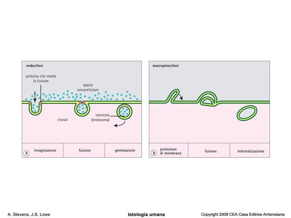 Lisosomi primariLisosomi primari –Vescicole gemmate dal Golgi –Materiale esogeno, organelli deteriorati Lisosomi secondariLisosomi secondari –I primari si fondono con l'endosoma (contenente il materiale da ingerire) fagosoma –Appaiono piu' elettron densi
