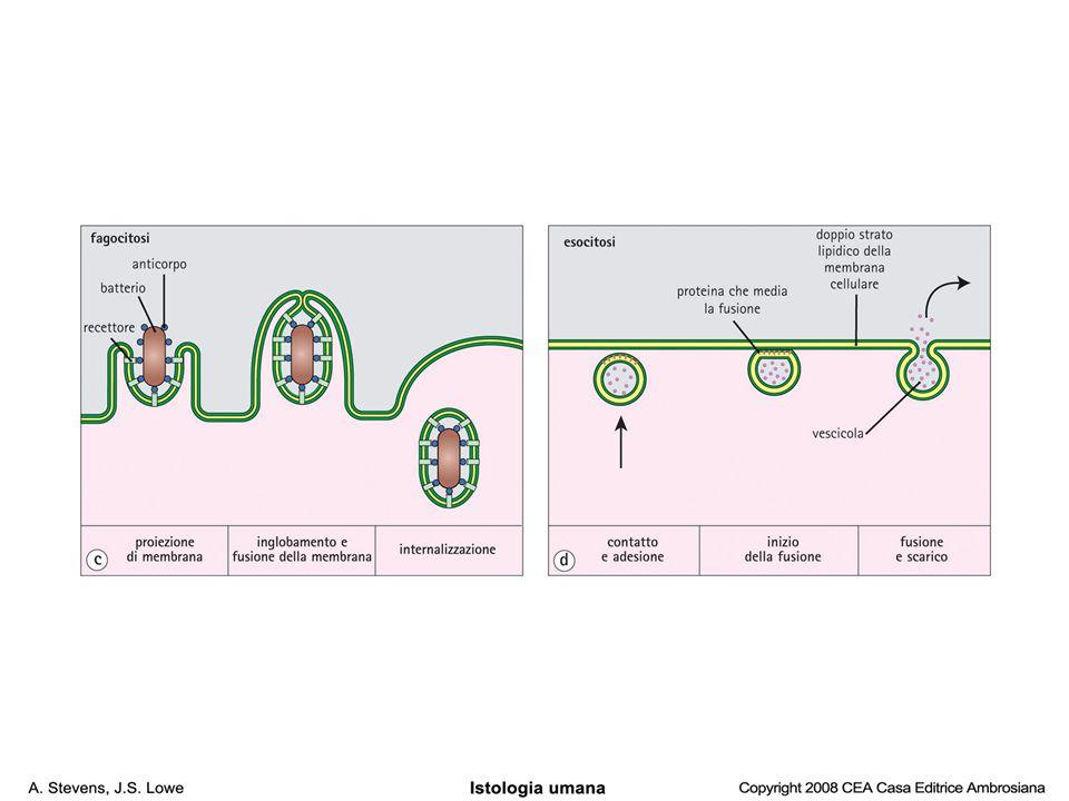 endocitosi mediata da recettore (clatrina)