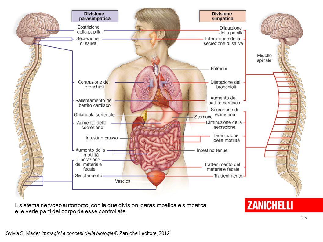 25 Sylvia S. Mader Immagini e concetti della biologia © Zanichelli editore, 2012 Il sistema nervoso autonomo, con le due divisioni parasimpatica e sim