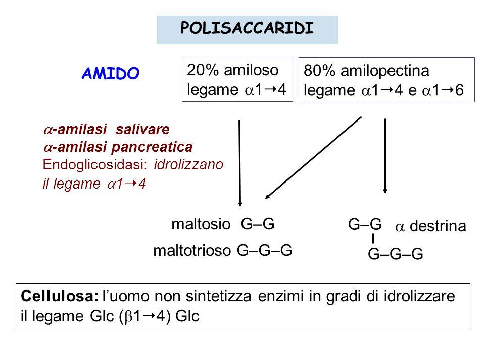  -amilasi salivare  -amilasi pancreatica Endoglicosidasi: idrolizzano il legame  1  4 80% amilopectina legame  1  4 e  1  6 20% amiloso legame  1  4 AMIDO maltosio G–G maltotrioso G–G–G POLISACCARIDI Cellulosa: l'uomo non sintetizza enzimi in gradi di idrolizzare il legame Glc (  1  4) Glc  destrina G–G G–G–G