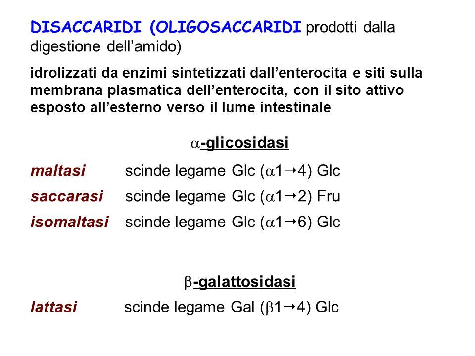 DISACCARIDI (OLIGOSACCARIDI prodotti dalla digestione dell'amido) idrolizzati da enzimi sintetizzati dall'enterocita e siti sulla membrana plasmatica dell'enterocita, con il sito attivo esposto all'esterno verso il lume intestinale  -glicosidasi maltasi scinde legame Glc (  1  4) Glc saccarasi scinde legame Glc (  1  2) Fru isomaltasi scinde legame Glc (  1  6) Glc  -galattosidasi lattasi scinde legame Gal (  1  4) Glc