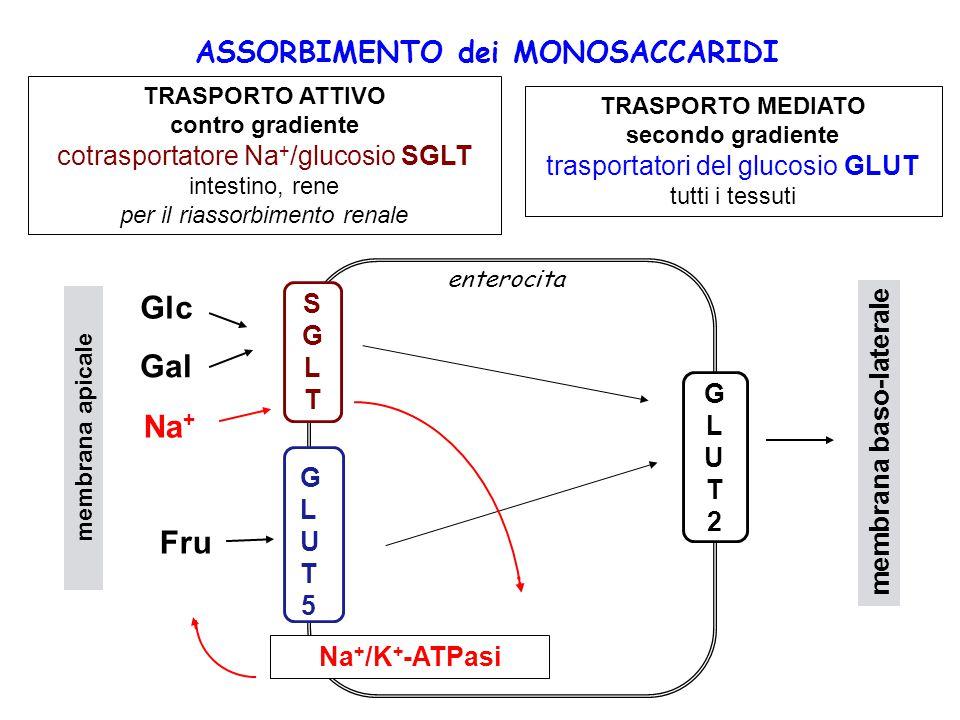 TRASPORTO ATTIVO contro gradiente cotrasportatore Na + /glucosio SGLT intestino, rene per il riassorbimento renale TRASPORTO MEDIATO secondo gradiente trasportatori del glucosio GLUT tutti i tessuti ASSORBIMENTO dei MONOSACCARIDI GLUT2GLUT2 GLUT5GLUT5 SGLTSGLT Na + /K + -ATPasi membrana baso-laterale membrana apicale Glc Gal Na + Fru enterocita
