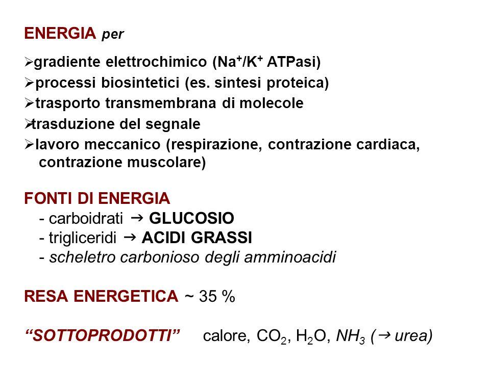 ENERGIA per  gradiente elettrochimico (Na + /K + ATPasi)  processi biosintetici (es.