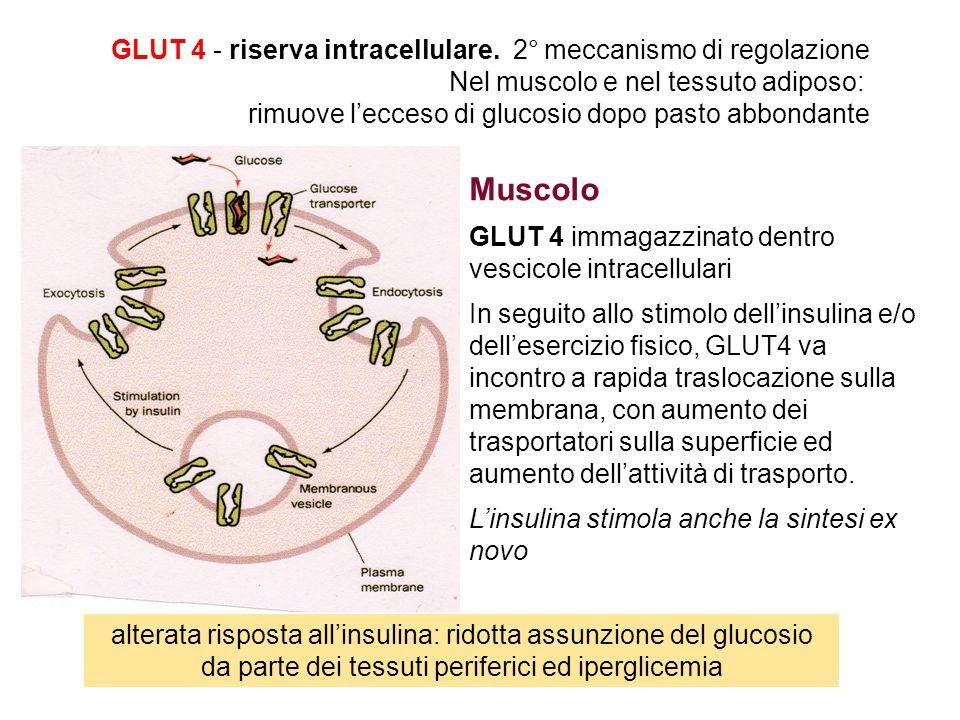 Muscolo GLUT 4 immagazzinato dentro vescicole intracellulari In seguito allo stimolo dell'insulina e/o dell'esercizio fisico, GLUT4 va incontro a rapida traslocazione sulla membrana, con aumento dei trasportatori sulla superficie ed aumento dell'attività di trasporto.