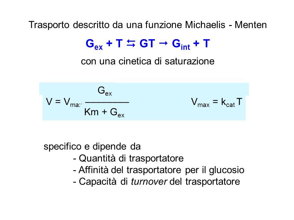 Trasporto descritto da una funzione Michaelis - Menten G ex + T  GT  G int + T con una cinetica di saturazione specifico e dipende da - Quantità di trasportatore - Affinità del trasportatore per il glucosio - Capacità di turnover del trasportatore V = V max –––––––– V max = k cat T G ex Km + G ex