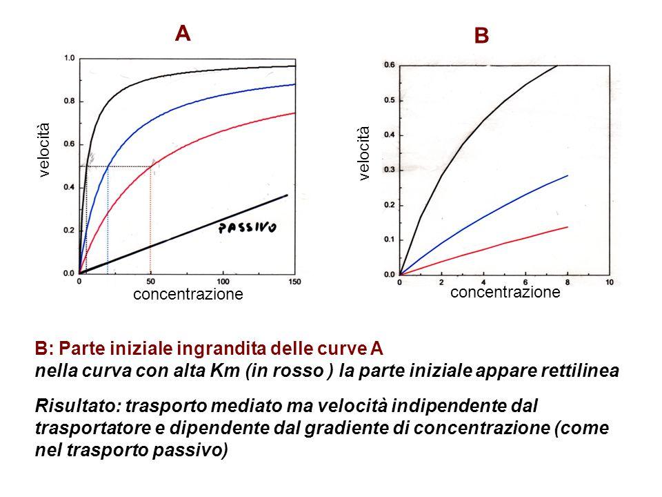 A B B: Parte iniziale ingrandita delle curve A nella curva con alta Km (in rosso ) la parte iniziale appare rettilinea Risultato: trasporto mediato ma velocità indipendente dal trasportatore e dipendente dal gradiente di concentrazione (come nel trasporto passivo) velocità concentrazione velocità
