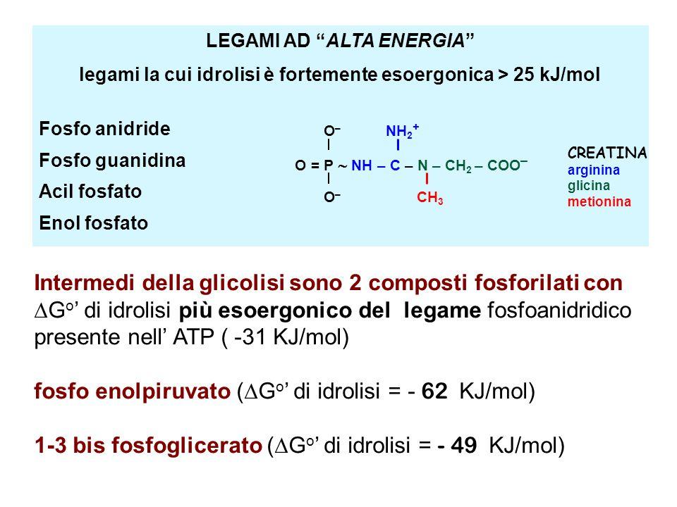 Intermedi della glicolisi sono 2 composti fosforilati con  G o ' di idrolisi più esoergonico del legame fosfoanidridico presente nell' ATP ( -31 KJ/mol) fosfo enolpiruvato (  G o ' di idrolisi = - 62 KJ/mol) 1-3 bis fosfoglicerato (  G o ' di idrolisi = - 49 KJ/mol) LEGAMI AD ALTA ENERGIA legami la cui idrolisi è fortemente esoergonica > 25 kJ/mol Fosfo anidride Fosfo guanidina Acil fosfato Enol fosfato O = P  NH – C – N – CH 2 – COO – O – NH 2 + O – CH 3 CREATINA arginina glicina metionina