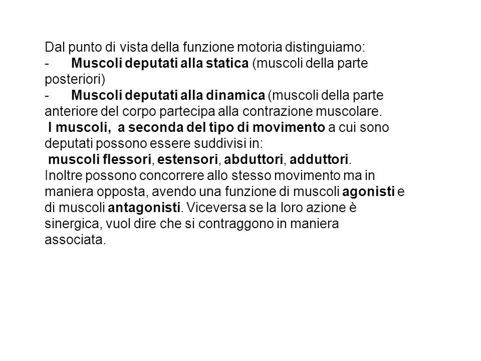 Dal punto di vista della funzione motoria distinguiamo: - Muscoli deputati alla statica (muscoli della parte posteriori) - Muscoli deputati alla dinamica (muscoli della parte anteriore del corpo partecipa alla contrazione muscolare.