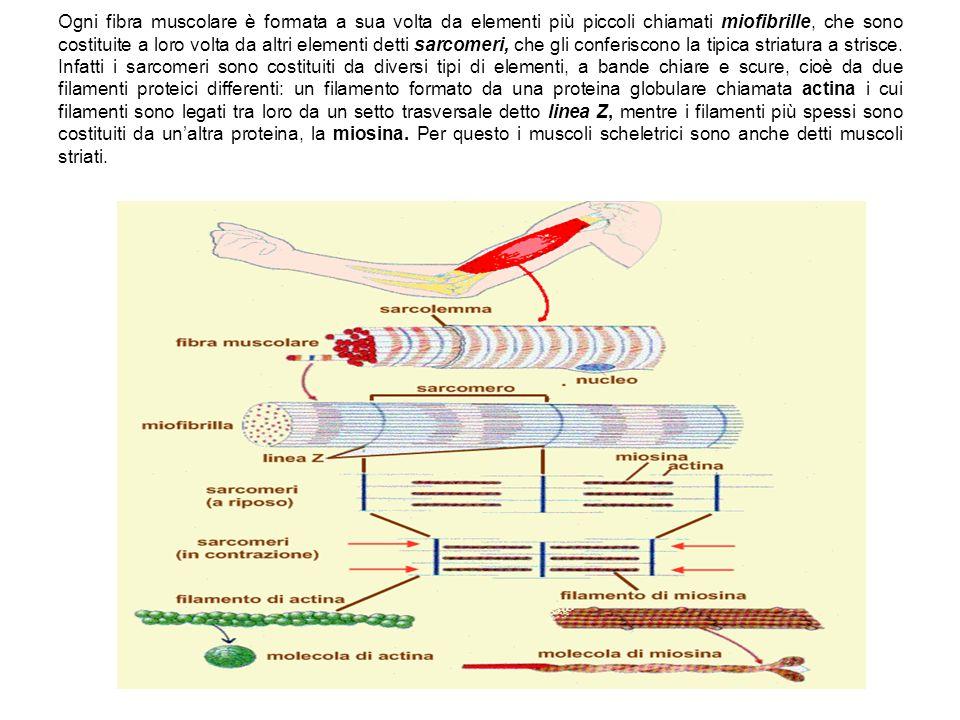 Ogni fibra muscolare è formata a sua volta da elementi più piccoli chiamati miofibrille, che sono costituite a loro volta da altri elementi detti sarcomeri, che gli conferiscono la tipica striatura a strisce.