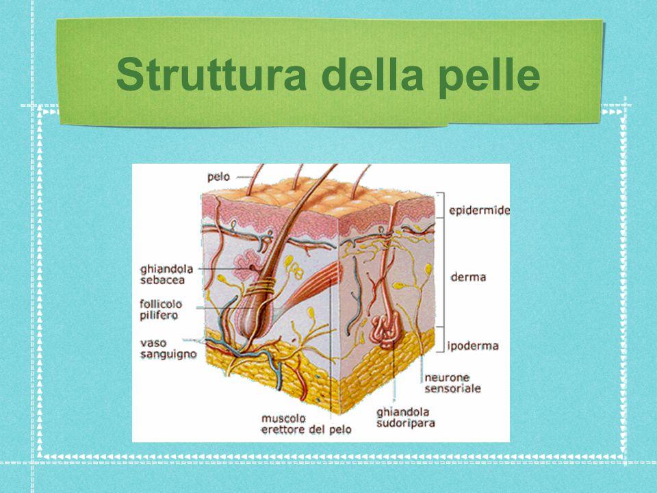 1.Epidermide: 1.Epidermide: strato superficiale formato da cheratina (rende impermeabile).