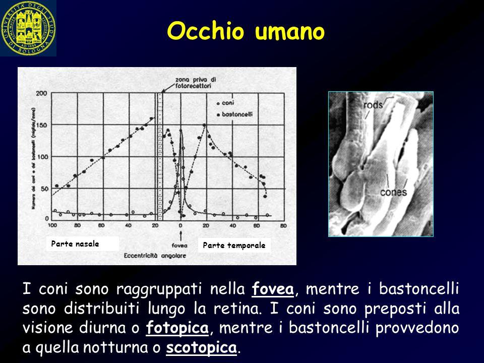 Occhio umano I coni sono raggruppati nella fovea, mentre i bastoncelli sono distribuiti lungo la retina. I coni sono preposti alla visione diurna o fo