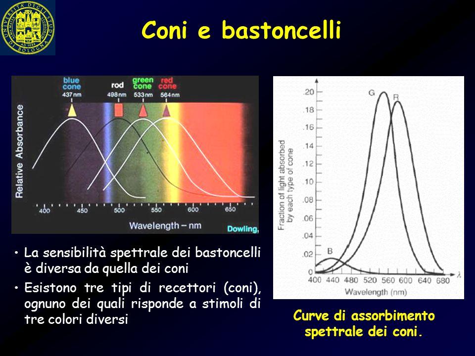 Coni e bastoncelli La sensibilità spettrale dei bastoncelli è diversa da quella dei coni Esistono tre tipi di recettori (coni), ognuno dei quali rispo