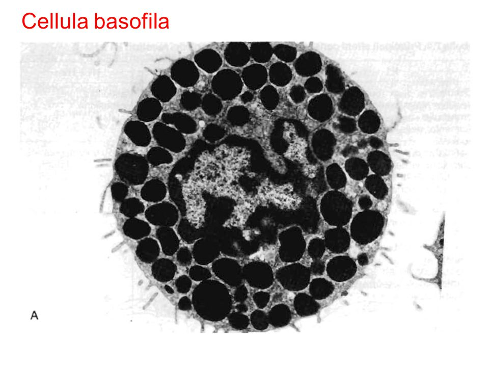 Fig. 7.7 Fig. 5.4 Cellula basofila