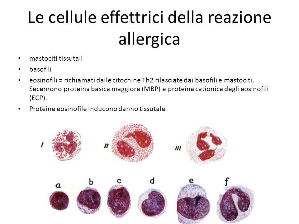 Le cellule effettrici della reazione allergica mastociti tissutali basofili eosinofili = richiamati dalle citochine Th2 rilasciate dai basofili e mast