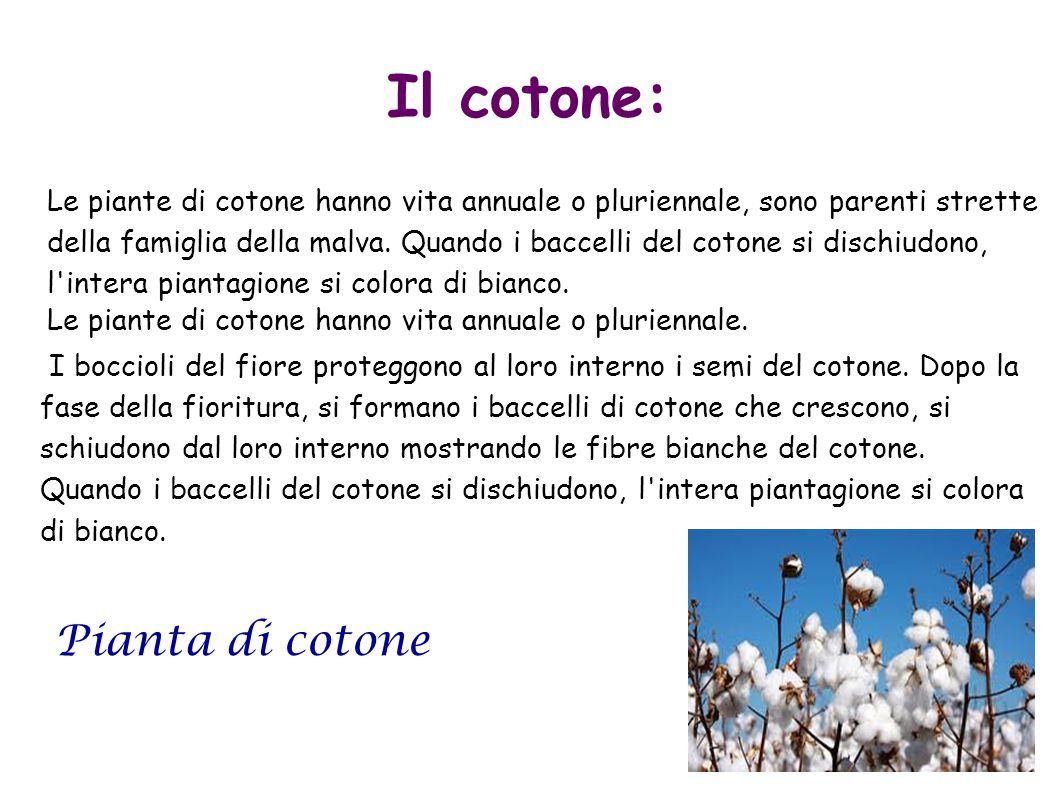 Il cotone: Le piante di cotone hanno vita annuale o pluriennale, sono parenti strette della famiglia della malva. Quando i baccelli del cotone si disc