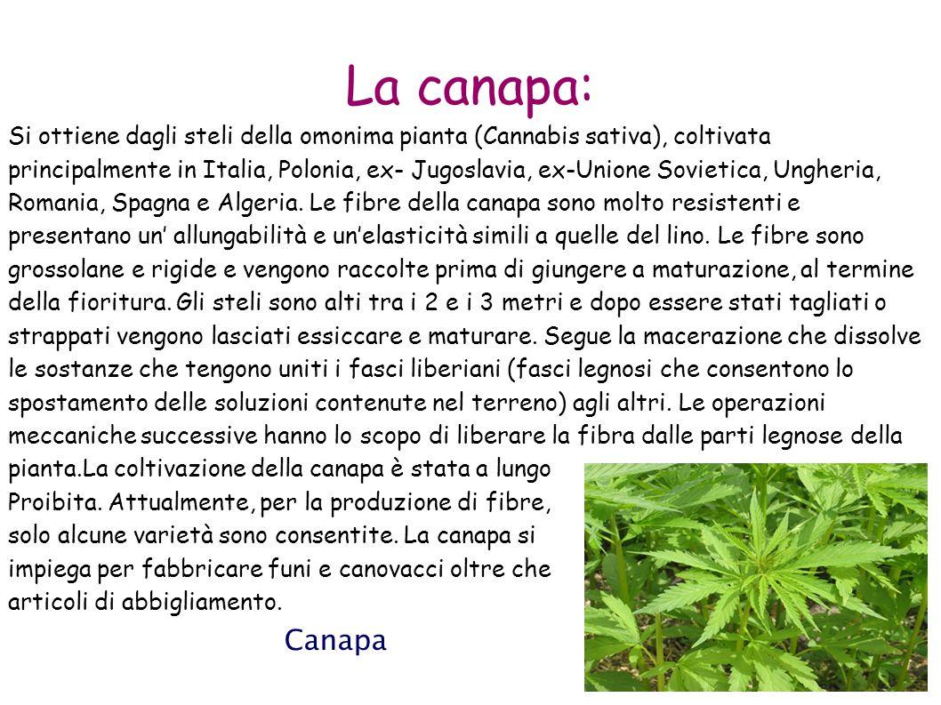 La canapa: Si ottiene dagli steli della omonima pianta (Cannabis sativa), coltivata principalmente in Italia, Polonia, ex- Jugoslavia, ex-Unione Sovie
