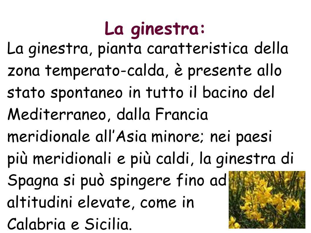 La ginestra: La ginestra, pianta caratteristica della zona temperato-calda, è presente allo stato spontaneo in tutto il bacino del Mediterraneo, dalla