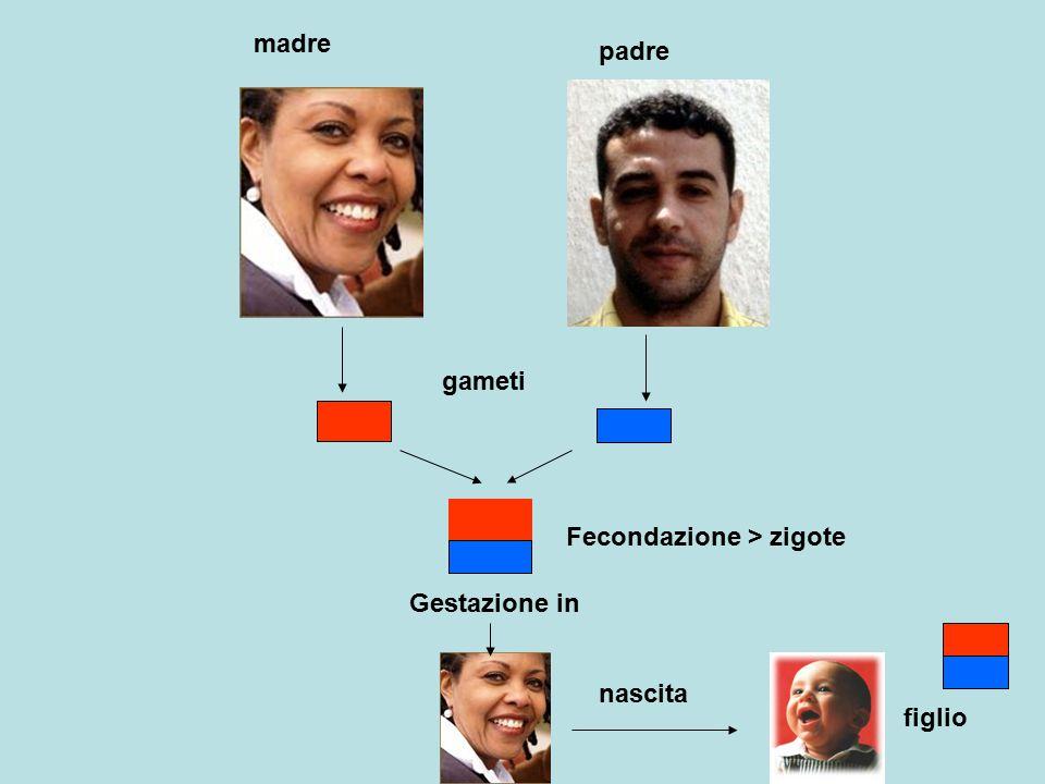 madre padre gameti Fecondazione > zigote figlio Gestazione in nascita