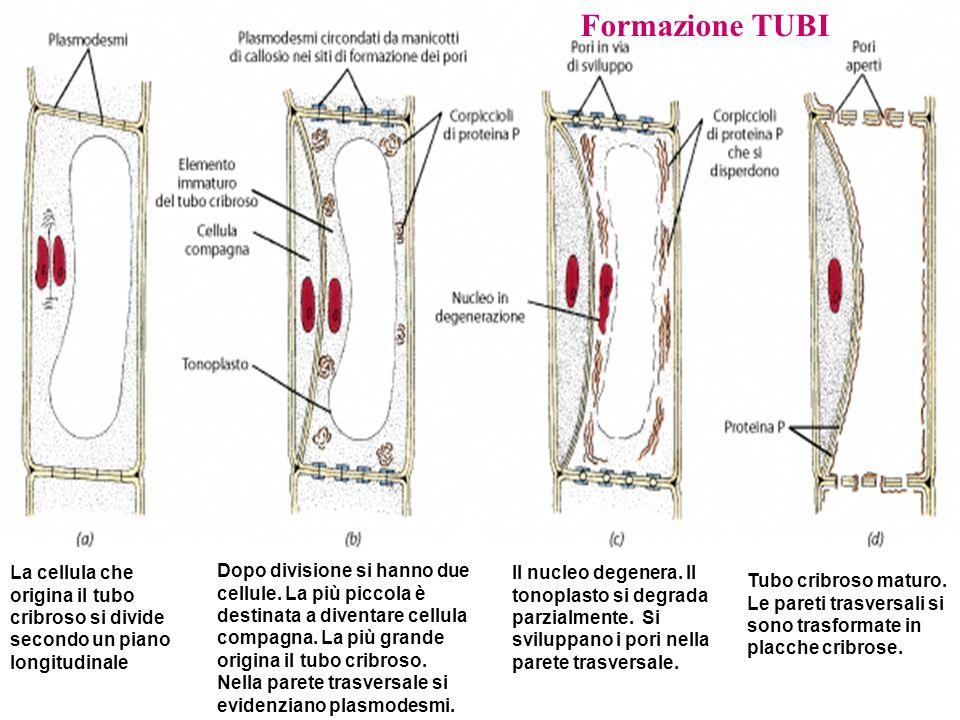 Formazione TUBI La cellula che origina il tubo cribroso si divide secondo un piano longitudinale Dopo divisione si hanno due cellule.