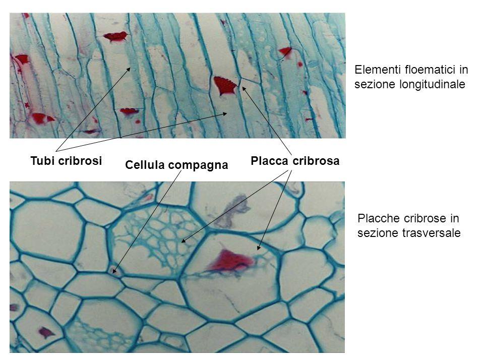 Elementi floematici in sezione longitudinale Tubi cribrosi Placche cribrose in sezione trasversale Placca cribrosa Cellula compagna