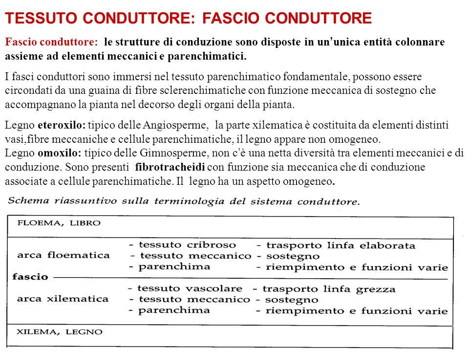 TESSUTO CONDUTTORE: FASCIO CONDUTTORE Fascio conduttore: le strutture di conduzione sono disposte in un ' unica entità colonnare assieme ad elementi meccanici e parenchimatici.