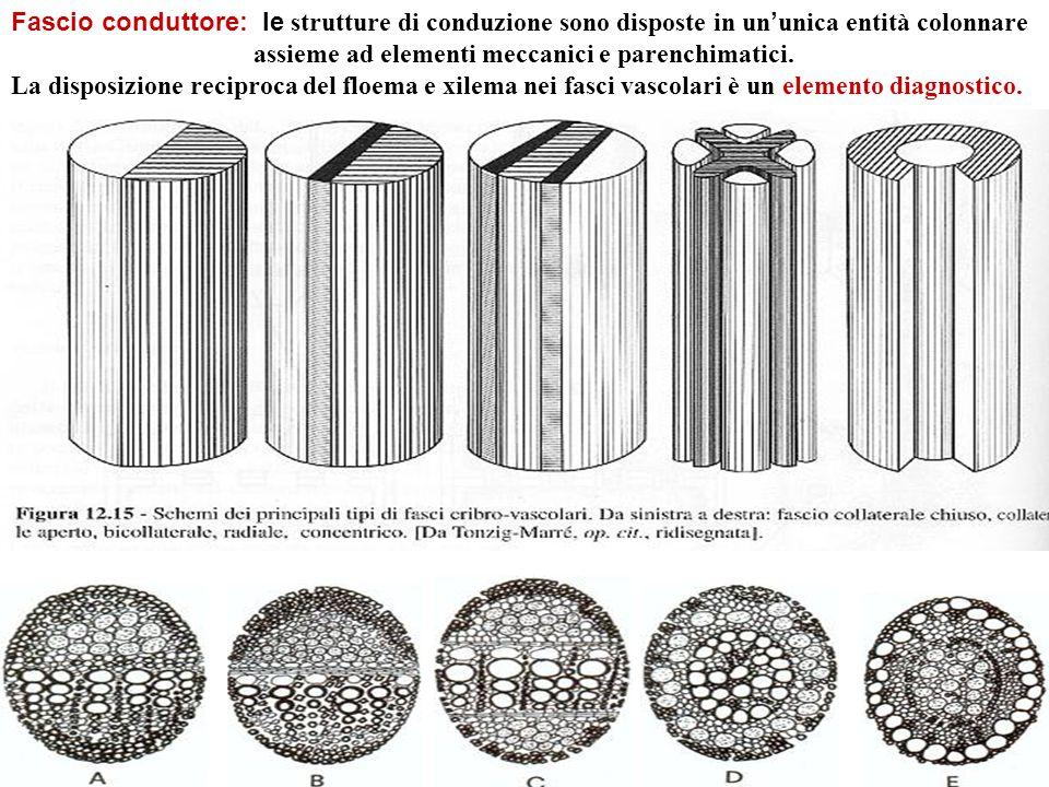 Fascio conduttore: le strutture di conduzione sono disposte in un ' unica entità colonnare assieme ad elementi meccanici e parenchimatici.