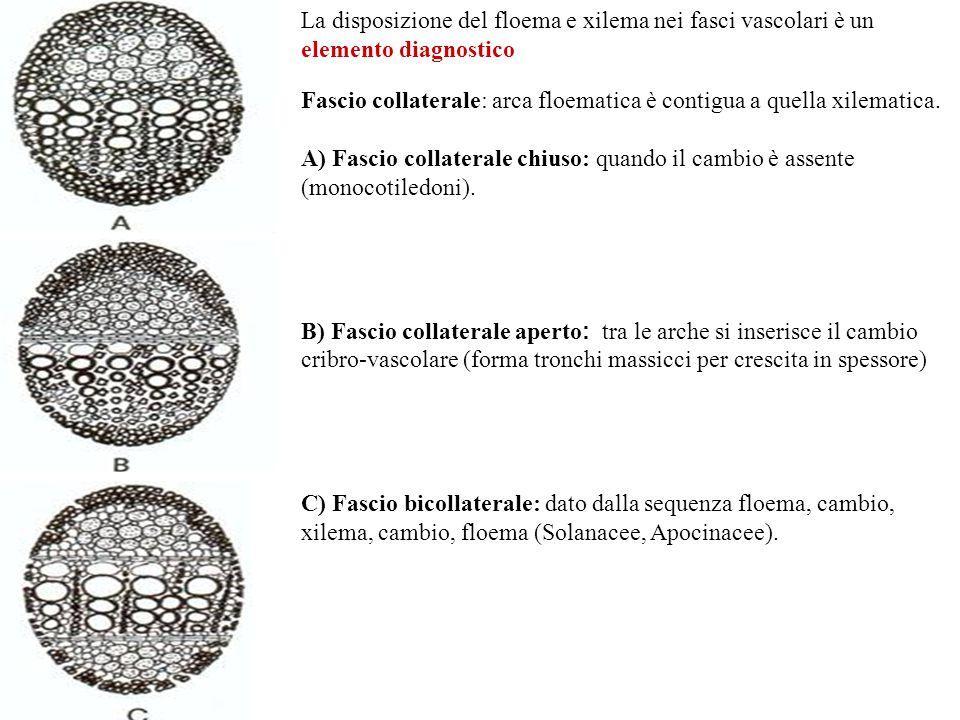Fascio collaterale: arca floematica è contigua a quella xilematica.