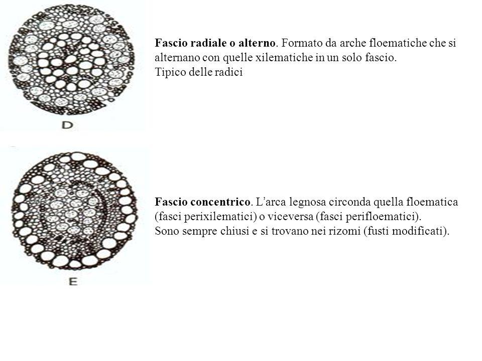 Fascio radiale o alterno.