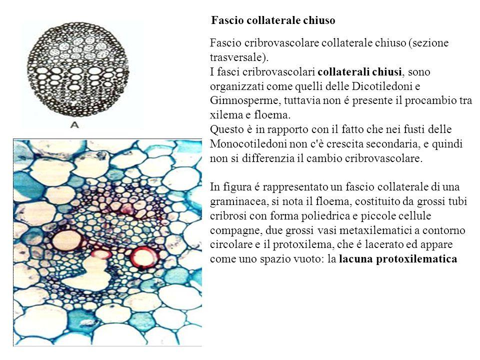 Fascio collaterale chiuso Fascio cribrovascolare collaterale chiuso (sezione trasversale).