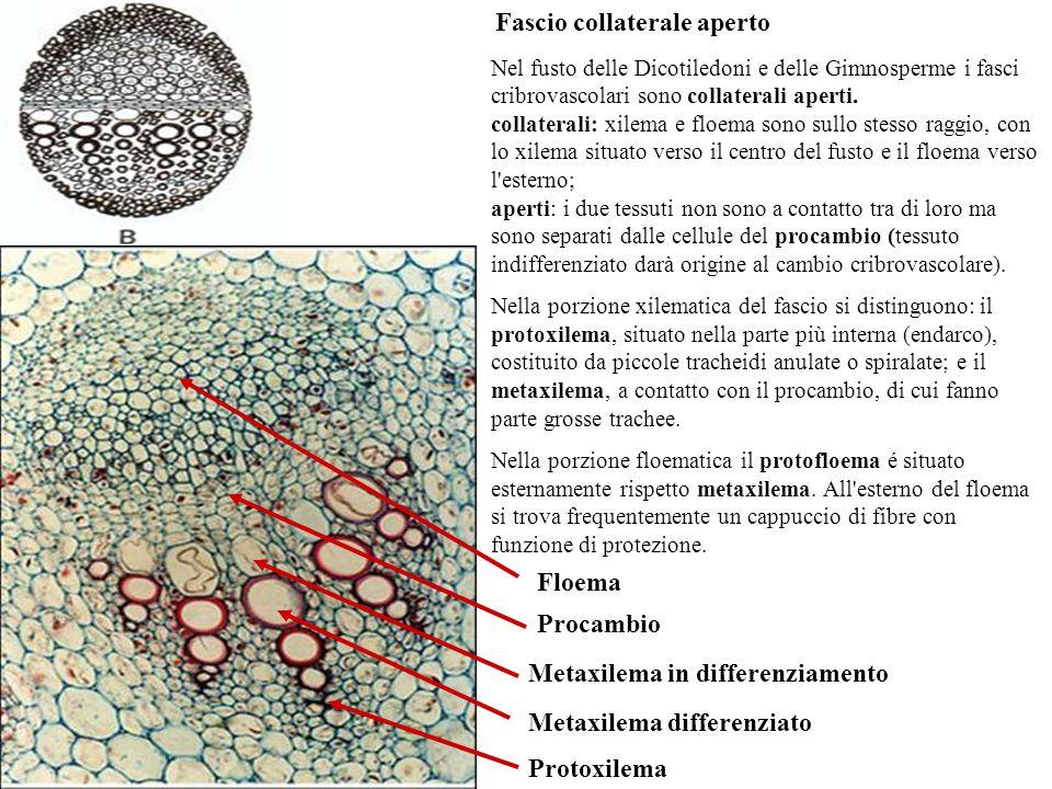 Nel fusto delle Dicotiledoni e delle Gimnosperme i fasci cribrovascolari sono collaterali aperti.
