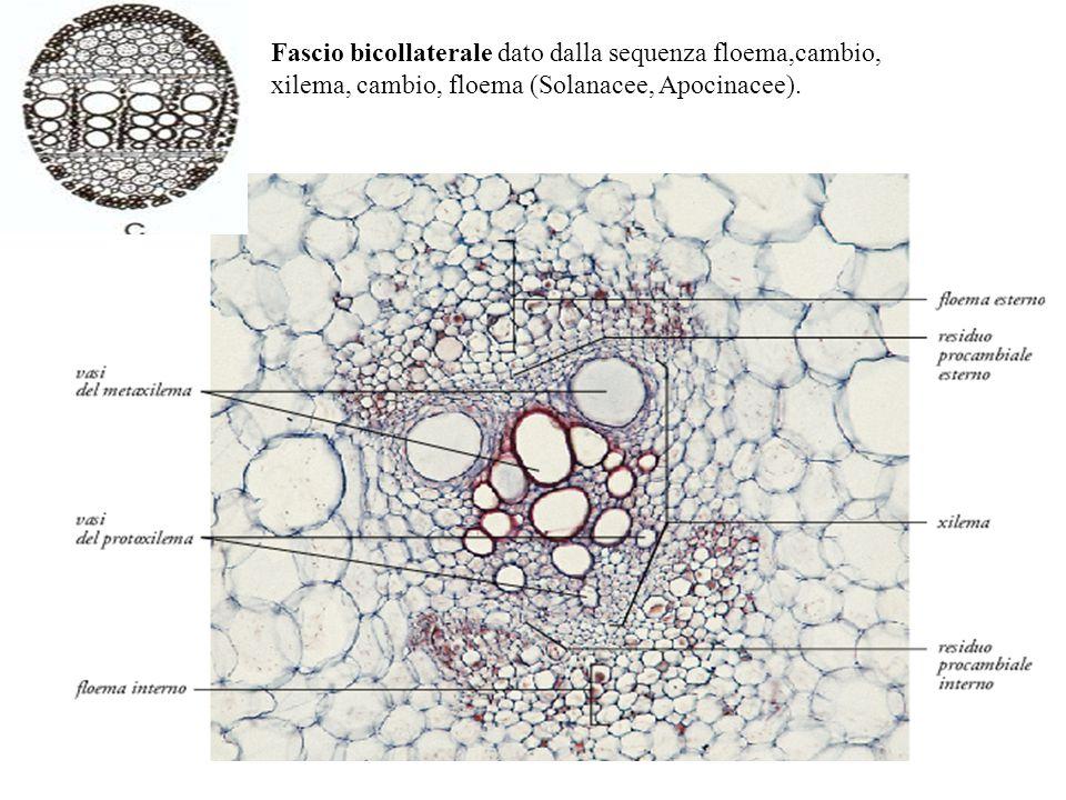 Fascio bicollaterale dato dalla sequenza floema,cambio, xilema, cambio, floema (Solanacee, Apocinacee).