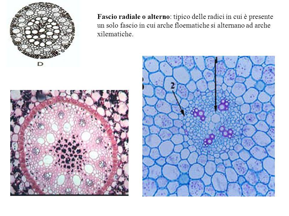 Fascio radiale o alterno: tipico delle radici in cui è presente un solo fascio in cui arche floematiche si alternano ad arche xilematiche.