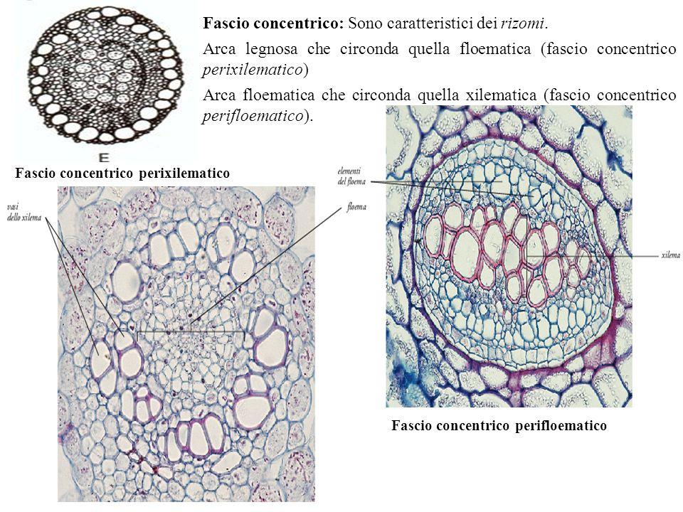 Fascio concentrico: Sono caratteristici dei rizomi.
