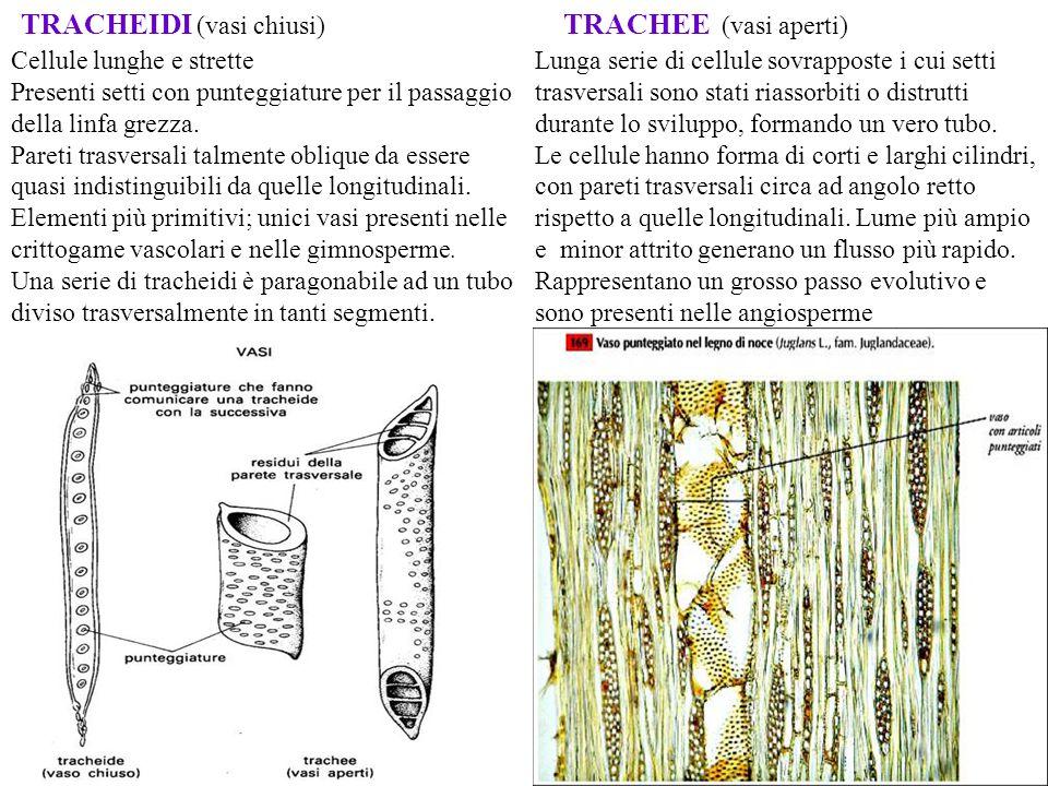 La cellula non ha ancora iniziato a formare la parete secondaria Il nucleo si ingrossa: cominciano a comparire gli ispessimenti secondari nelle pareti laterali Completato ispessimento delle pareti secondarie.