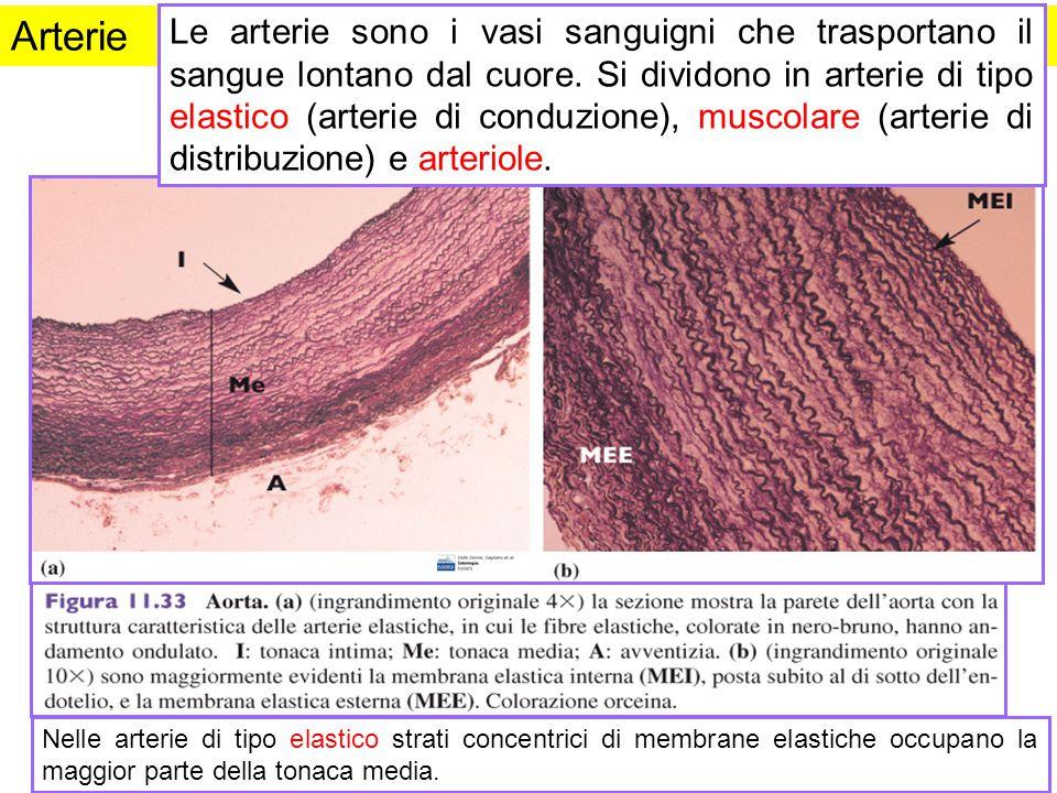 Arterie Le arterie sono i vasi sanguigni che trasportano il sangue lontano dal cuore. Si dividono in arterie di tipo elastico (arterie di conduzione),